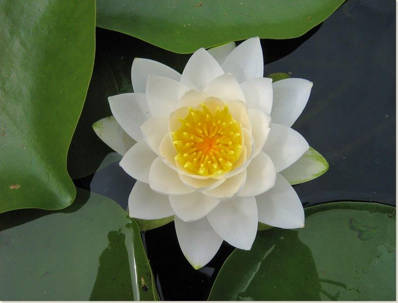 Zaterdag 28 juni 2008, een prachtige witte waterlelie