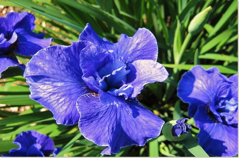 De Kruidhof, Buitenpost 8 juni 2008 Irissen, blauw