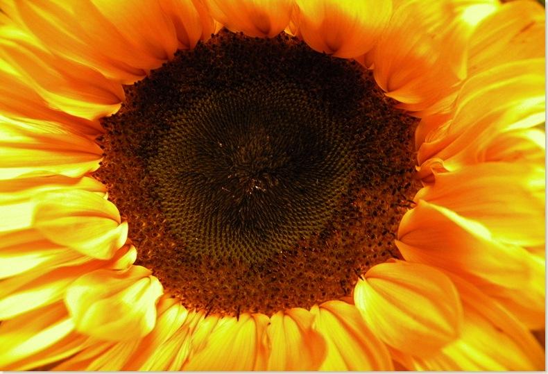 Hart van een zonnebloem, 12 sept. 2008