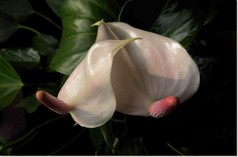 Anthurium of flamingoplant heeft nieuwe bloemen. 24 nov.2008