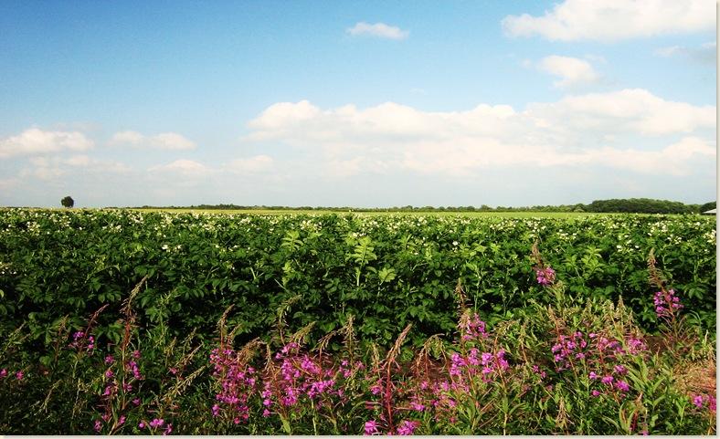 Drouwenenerzand, aardappelveld 22 juni 2008