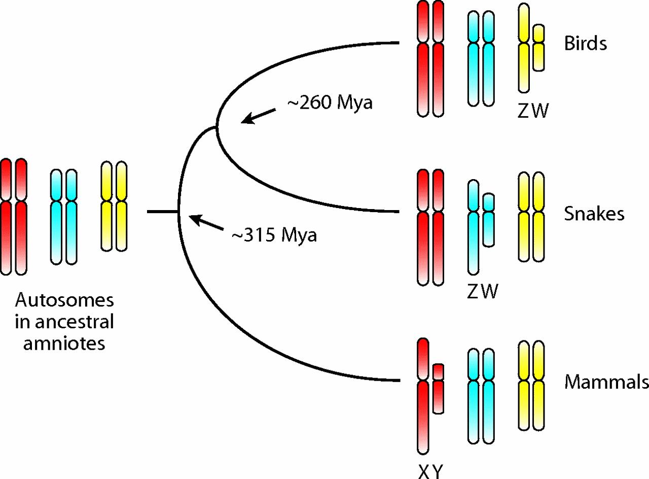 Separate Origins of Chromosomal Sex Determination