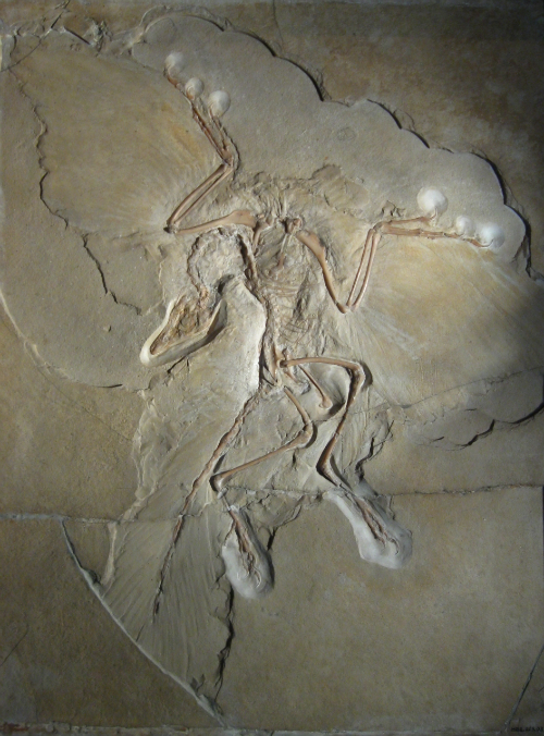 Archaeopteryx Fossil (Berlin)