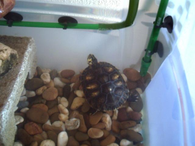 Doy en adopción dos tortugas de agua. Córdoba. Nina%20en%20su%20nueva%20casita