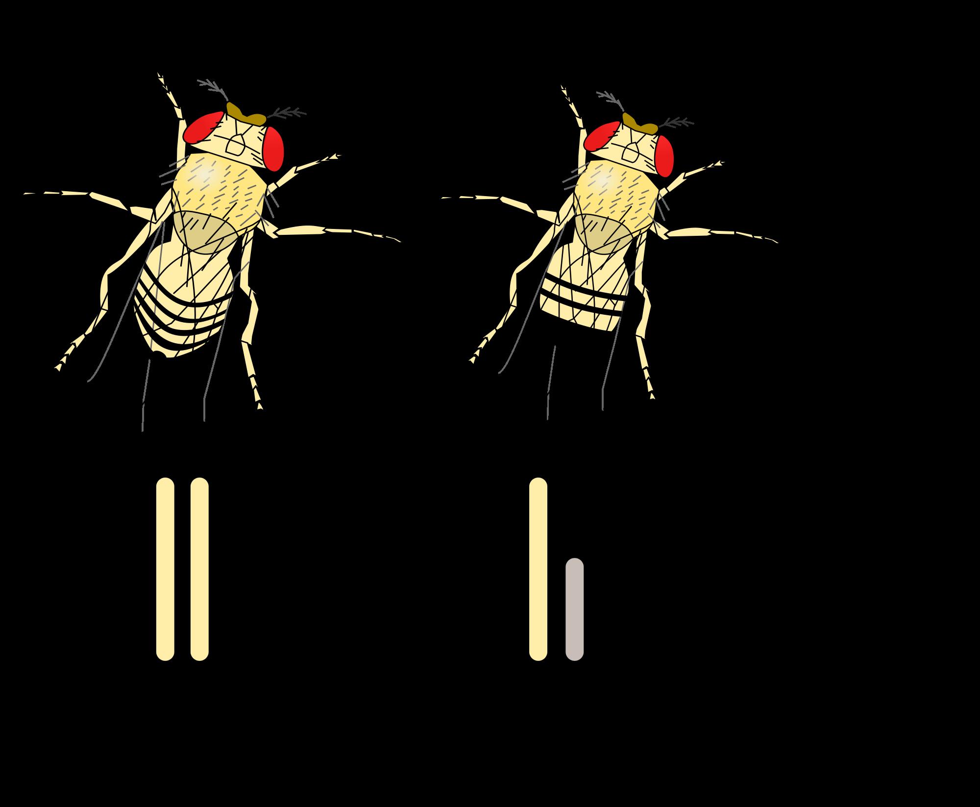 el macho y la hembra de la drosophila:
