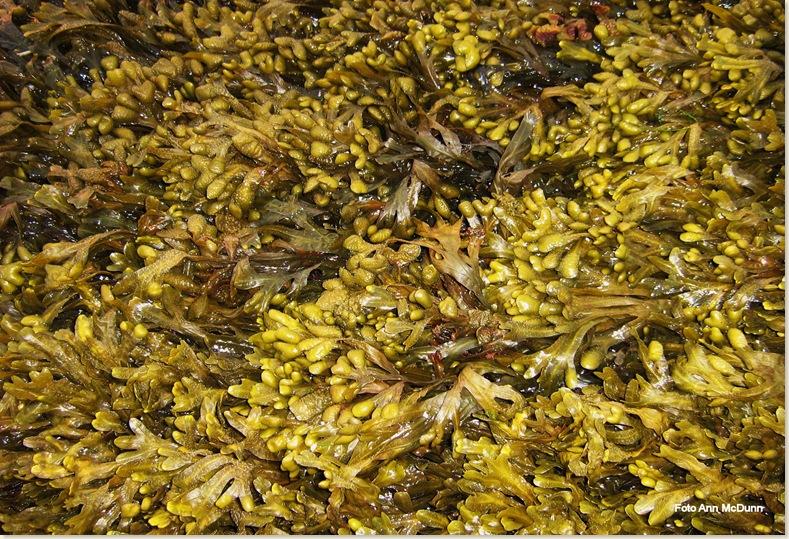 Knotswier bij eb, Waddenzee. Zondag 27 juli 2008