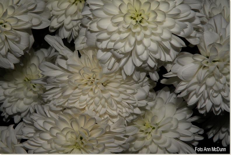 Witte chrysanten, 22 okt. 2008