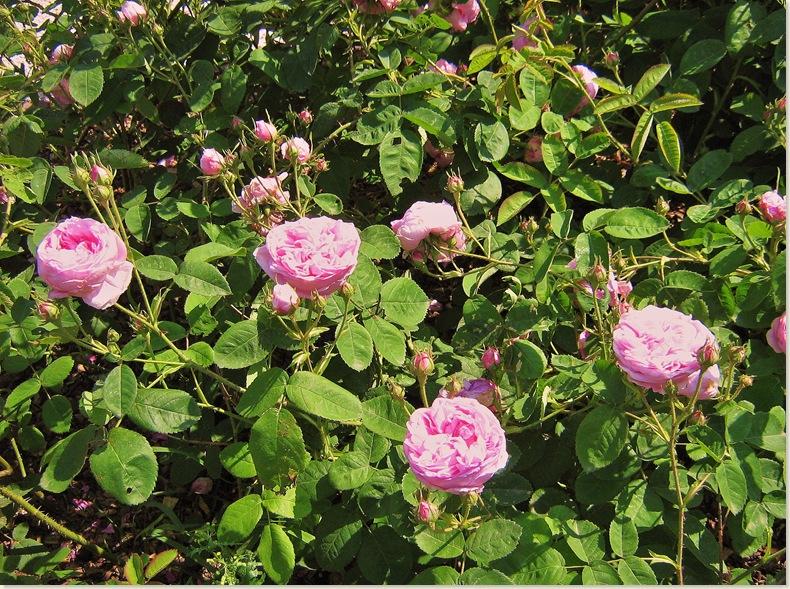 De Kruidhof, Buitenpost 8 juni 2008 de rozen bloeien volop