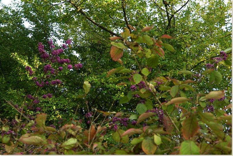 Paarse bessen in de herfst, De Kruidhof 11 okt. 2008