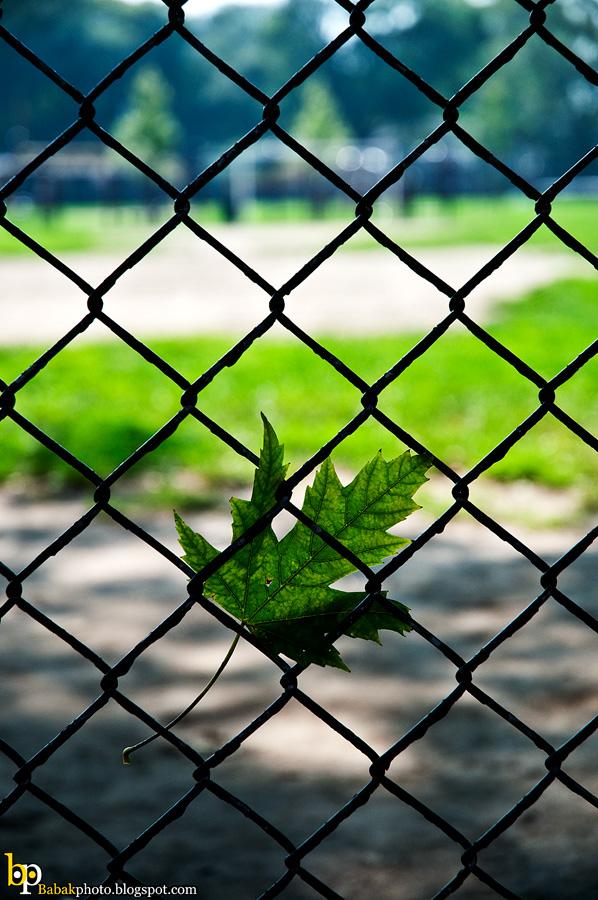 Maple Leaf, Nikon D300, Nikkor18-70@70mm, F4.5, 1/800s, Iso200