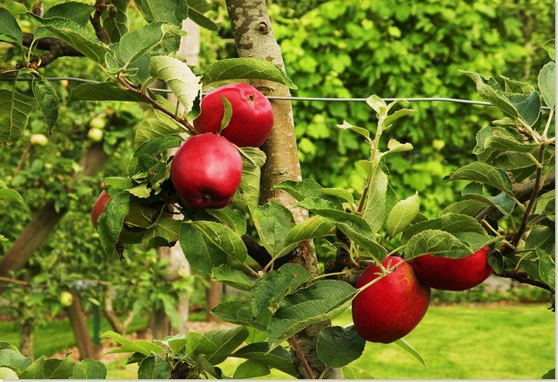 Deze appels zieje niet in de winkel. De Kruidhof 6 augustus 2008