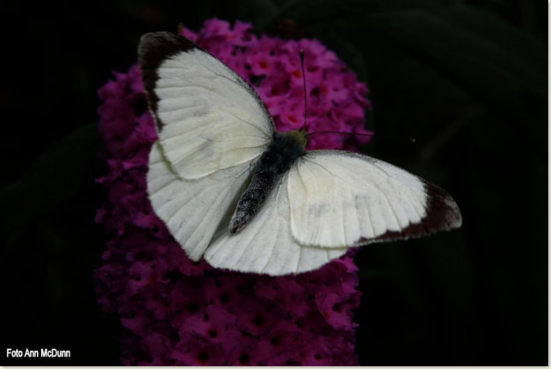 groot koolwitje (mannetje) - Pieris brassicae