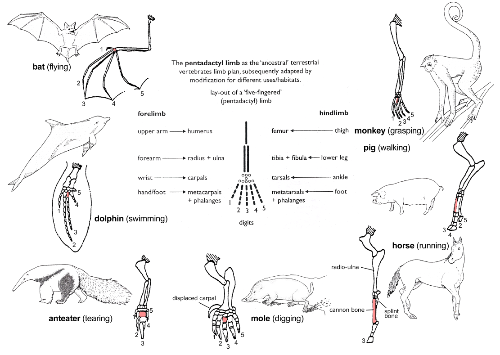 Adaptive Radiation of the Pentadactyl Limb