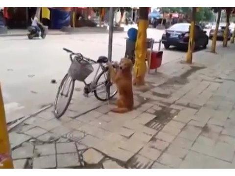 小狗帮主人看管自行车,这小狗出名了啦