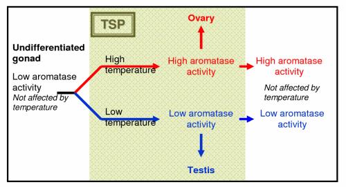 Temperature-dependent Sex Determination