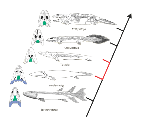 Fish-to-Tetrapod Evolution
