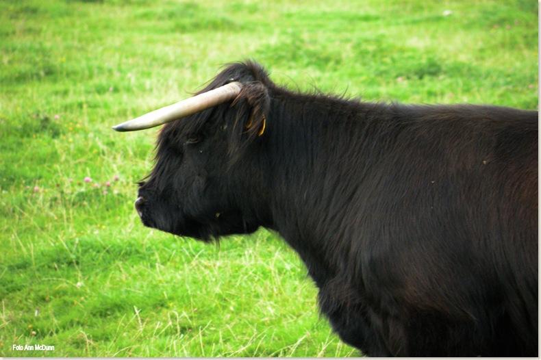 Zwarte Schotse Hooglander, hoezo chagrijnig. Zondag 17 aug. 2008