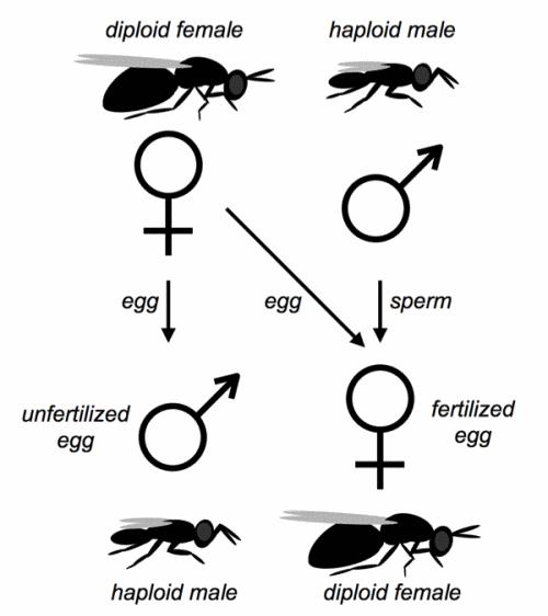 Haplodiploidy