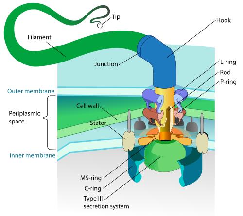 The mechanisms of the flagellum.