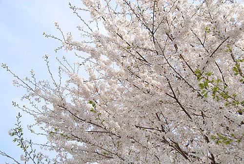 2007-04-01 桜1