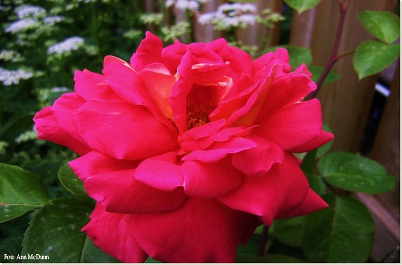 Roze roos van Ann 3 juni 2008