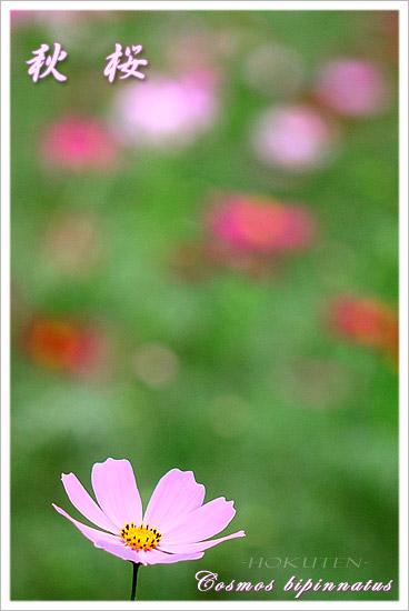 コスモス 秋桜 高麗 巾着田