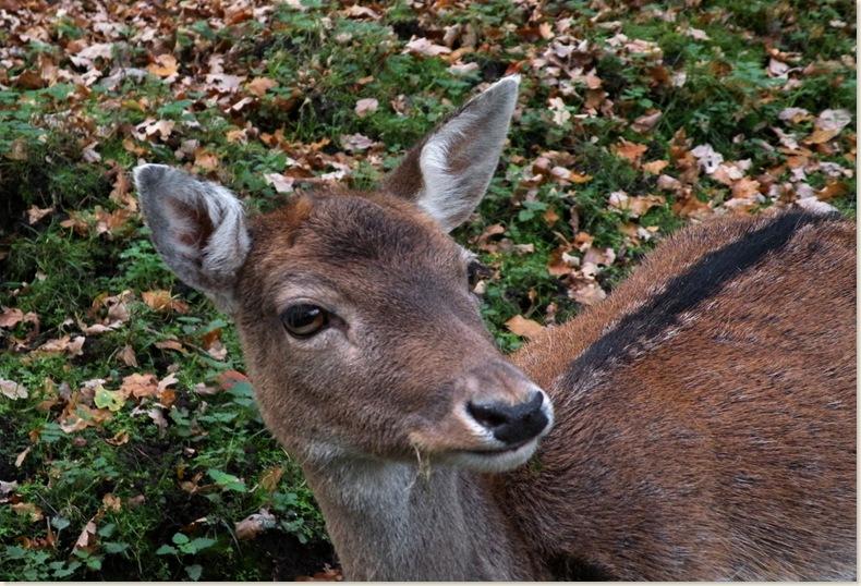 Hertje dichtbij, Veenkloosterbos 21 okt. 2008