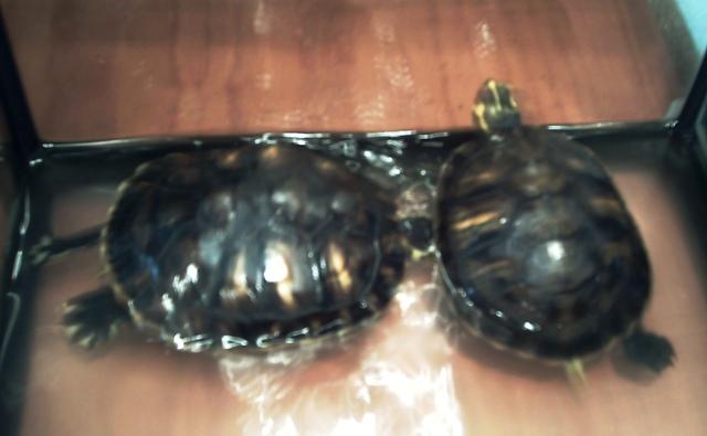 Doy en adopción dos tortugas de agua. Córdoba. En%20el%20fondo