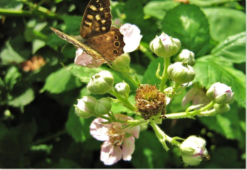 Vlindertje op wilde bramen, maandag 14 juli 2008 008