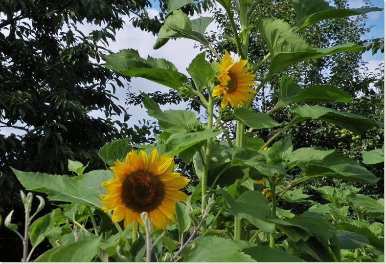 Zonnebloemen(Helianthus annuus) tussen de fruitbomen. De Kruidhof 6 augustus 2008
