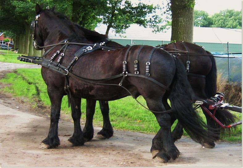 Friese tuigpaarden, Drente III dorpsfeest Exloo, zondag 20 juli 2008