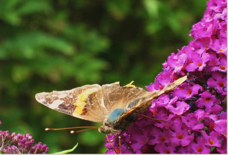 Jawel een vlinder, maandag 14 juli 2008 002