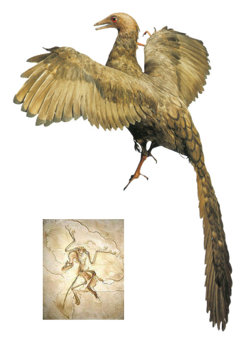 Archaeopteryx: The best example of a theropod-bird transition