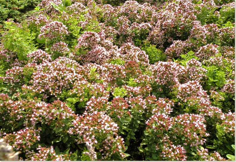 Bloeiende Tijm (Thymus vulgaris). De Kruidhof 6 augustus 2008