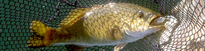 Smallmouth bass are fun to catch, but also tasty
