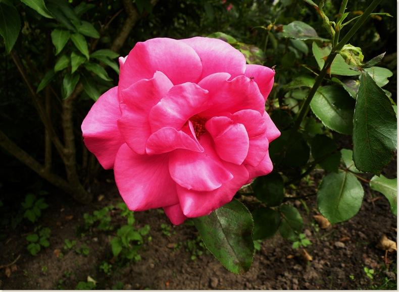 Een roos van Rietje, zondag 3-08-2008