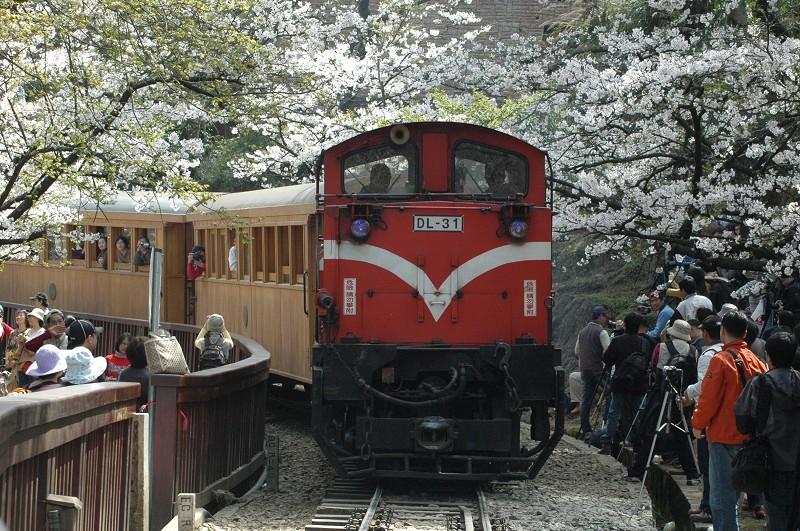 台湾旅游好时节 阿里山樱花将开放