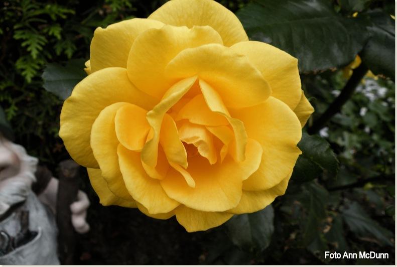 Een roos bij Jellie, Edward staat ernaast. 18 sept.2008